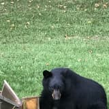 Bear Fact: Bring Bird Feeders Inside, Westchester, As Bruins Make Return