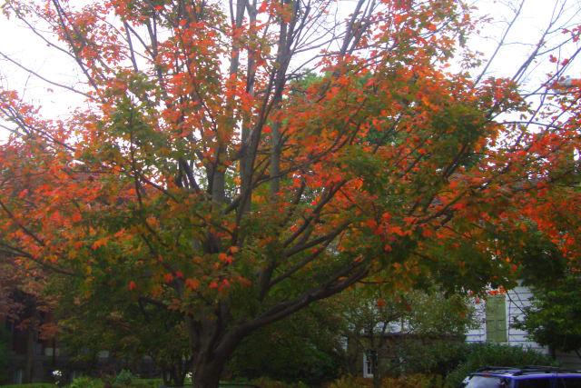More trees in Westchester will soon begin to display vibrant colors like this one in Rye.