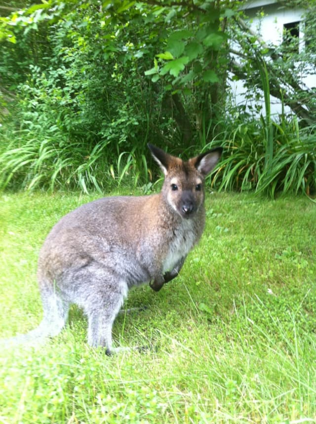 Indy, a 6-year old wallaby, has gone missing in North Salem.